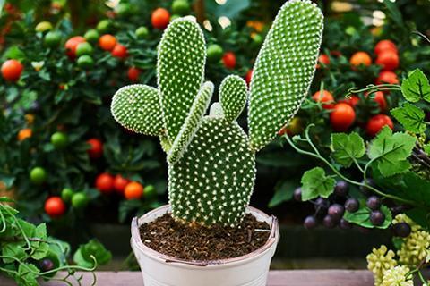 Trik Merawat Kaktus Di Dalam Ruangan
