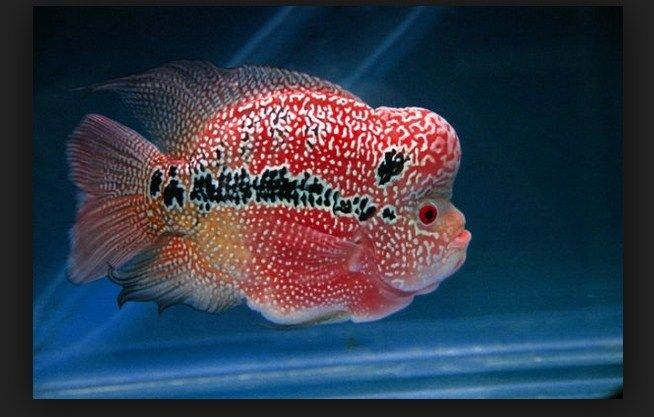 Kisah Seorang Bocah SMA Menjadi Reseller Ikan Louhan